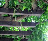 藤の花の種 - のんびり街さんぽ