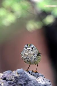 キクイタダキ - 比企丘陵の自然