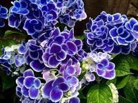 #869 Purple Rain - ちょた☆グラフ