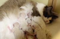 テイラー子猫5日目★ママ、どこ~~~★ - らぐ・らいふ Sweetlapisラグドール日記