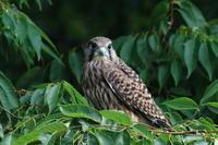 チョウゲンボウの子育て10 巣立ちの差 - 気まぐれ野鳥写真