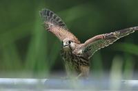 チョウゲンボウの子育て9 巣立ち - 気まぐれ野鳥写真