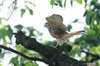 チョウゲンボウの子育て11 巣立ち後の知恵 - 気まぐれ野鳥写真