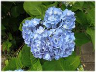 紫陽花の見ごろ - nazunaニッキ