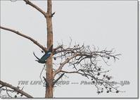 当地のブッポウソウは、渡り途中の羽根休めのよう - THE LIFE OF BIRDS --- 野鳥つれづれ記