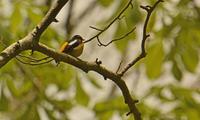 戸隠森林植物園のキビタキ Narcissus Flycatcher - 素人写人 雑草フォト爺のブログ