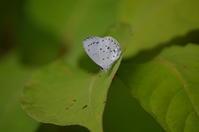 サツマシジミ 6月11日 - 超蝶