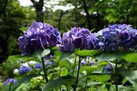 紫陽花が咲く--自由散歩@撮影 - くにちゃん3@撮影散歩