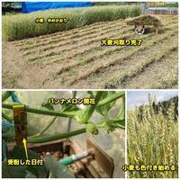 大麦刈取り完了 - ■■ Ainame60 たまたま日記 ■■