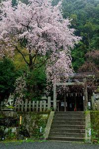 京都の桜2017 大豊神社の枝垂れ桜 - 花景色-K.W.C. PhotoBlog