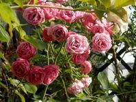 多花性で花持ちが良いバラ - 百寿者と一緒の暮らし