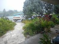 雨!雨らしい降りだ! - 沖縄山城紅茶 茶摘み日記