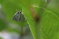 やっとの思いでゼフ3種 - 蝶超天国