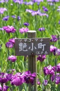 菖蒲園の花たち 艶小町(ツヤコマチ)です。 - 平凡な日々の中で