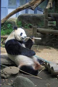 無事出産!上野動物園のジャイアントパンダ。 - 動物園のど!