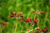 6月散歩道の花達 - 気ままにデジカメ散歩