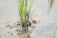 ■ 産卵するトンボ 3種   17.6.12   (シオカラトンボ、シオヤトンボ、ショウジョウトンボ) - 舞岡公園の自然2