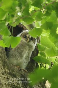 聖なる森のフクロウ雛 - 花野鳥風月MISCHEH