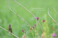 野あざみ啄ばむカワラヒワ幼鳥 - 花野鳥風月MISCHEH