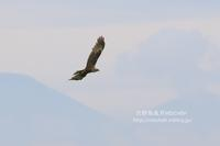 5月のチュウヒ塒入り - 花野鳥風月MISCHEH