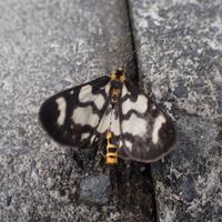 ウメエダシャク? Cystidia couaggaria couaggaria? - 写ればおっけー。コンデジで虫写真