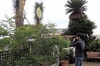 ユッカは福の神さま?! - 手柄山温室植物園ブログ 『山の上から花だより』