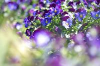 紫パンジー - Today's one photograph