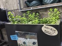 ☆ペパーミントの浄水効果☆ - 神戸でアロマテラピーを。