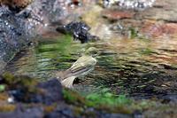 富士山麓にて:メボソムシクイ - 武蔵野の野鳥