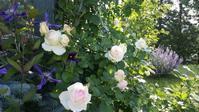 バラが咲く朝♪ - 今から・花
