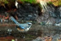 ルリビタキ - 比企丘陵の自然