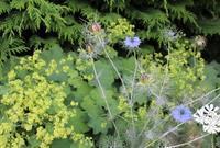 ニゲラのドライ&咲いてビックリ - HOME SWEET HOME ペコリの庭 *