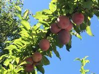 今年の杏は全滅だったけど - ちょっと田舎暮しCalifornia