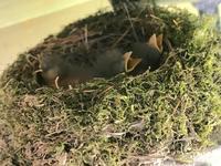 Baby Birds (赤ちゃん鳥) - ファルマウスミー