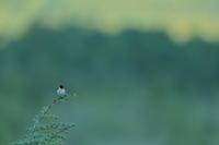 続き【ノビタキ・ニュウナイスズメ・ヒガラ・ホオアカ・ビンズイ・トラフズク】 - 鳥観日和