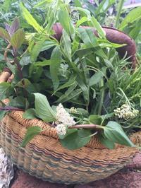 「ガーデンハーブで作る緑の薬箱」プロジェクト - 英国メディカルハーバリスト