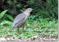 ミゾゴイは、薄暗い森や林にすむ純日本産のサギ類 - THE LIFE OF BIRDS --- 野鳥つれづれ記