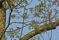 戸隠森林植物園のノジコ Japanese yellow bunting - 素人写人 雑草フォト爺のブログ