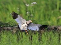 ケリ - 『彩の国ピンボケ野鳥写真館』