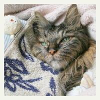 ご長寿猫 はんぞう との暮らし 「5月16日~5月20日の はんぞう」 - たびねこ