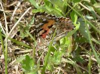 今年も出会えた、ヒメアカタテハの産卵。 - 堺のチョウ