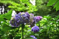 紫陽花が咲く--自由散歩@撮影-2 - くにちゃん3@撮影散歩