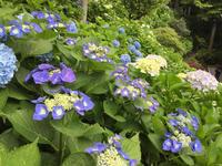 鎌倉での朝活は花づくし 紫陽花寺と大船植物園 - Coucou a table!      クク アターブル!