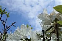 白いツツジ - White Love