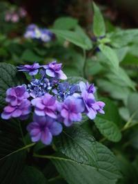6月は、紫陽花とスケートの季節! - マイケルと読書と、、