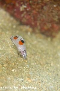 ロクデナシぶる~す ~カンムリベラ幼魚~ - 池ちゃんのマリンフォト