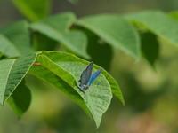 オオミドリシジミ - 自然を楽しむ