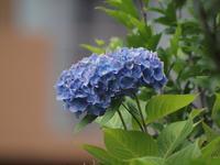 『本巣市佐原の紫陽花・・・』 - 自然風の自然風だより