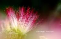 合歓の木の 眠るとき・・ - 花々の記憶