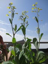 キャベツの花 (芯を再利用?) - 花と夢遊び